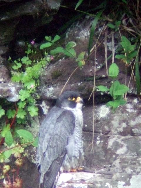 ① ハヤブサ ♂ 成鳥 ニュー・ラナーク スコットランド New Lanark, Scotland 2009/05/26 Photo by Kohyuh