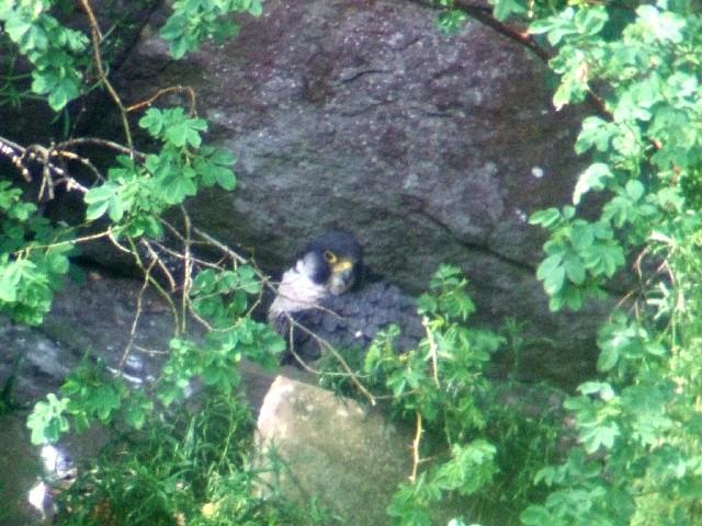 ② ハヤブサ ♀ 成鳥</A> ニュー・ラナーク スコットランド New Lanark, Scotland 2009/05/26 Photo by Kohyuh