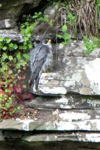 ③-1 ハヤブサ ♂ 成鳥</A> ニュー・ラナーク スコットランド New Lanark, Scotland 2009/05/26 Photo by Kohyuh