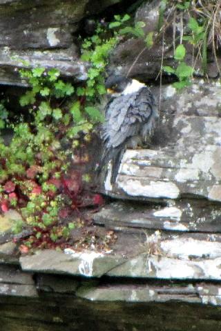 ③-2 ハヤブサ ♂ 成鳥</A> ニュー・ラナーク スコットランド New Lanark, Scotland 2009/05/26 Photo by Kohyuh