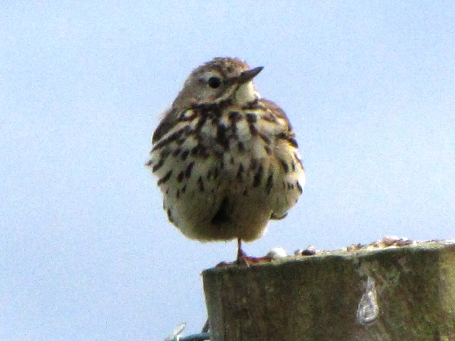 ⑤ マキバタヒバリ 成鳥 ファルカラ アイルランド Falcarrach, Ireland Photo by Kohyuh 2009/06/10