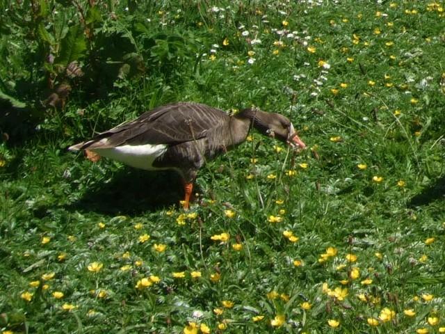 ② マガン 成鳥 ウェックスフォード野鳥保護区 アイルランド Wexford Wildfowl Reserve, Ireland 2009/06/01 Photo by Kohyuh