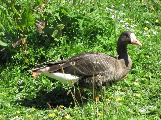 ① マガン 成鳥 ウェックスフォード野鳥保護区 アイルランド Wexford Wildfowl Reserve, Ireland 2009/06/01 Photo by Kohyuh