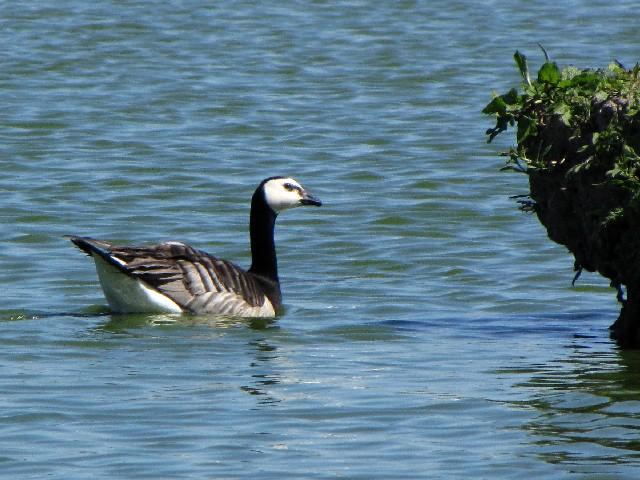 ③  カオジロガン 成鳥 ウェックスフォード野鳥保護区 アイルランド Wexford Wildfowl Reserve, Ireland 2009/06/01 Photo by Kohyuh