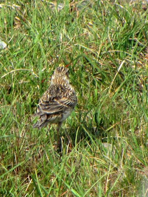 ④ モリヒバリ 成鳥 バレンシア島 アイルランド Valencia Island, Ireland 2009/06/04 Photo by Kohyuh