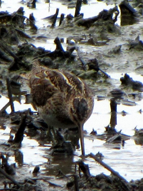 ② タシギ 成鳥 ベルファスト港保護区 北アイルランド Belfast Harbour Reserve, Northern Ireland  2009/06/15 Photo by Kohyuh