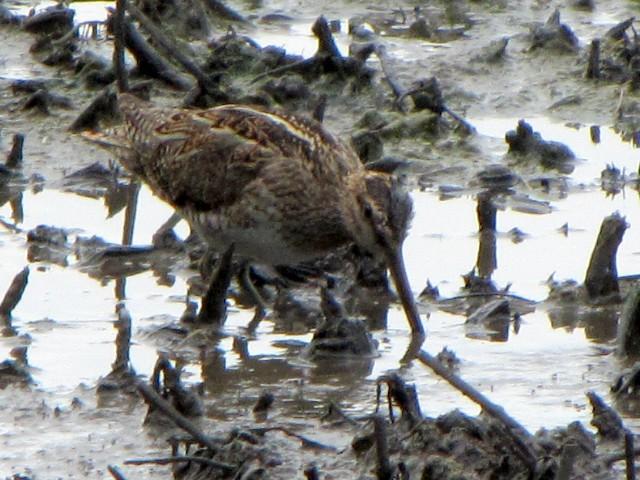③ タシギ 成鳥 ベルファスト港保護区 北アイルランド Belfast Harbour Reserve, Northern Ireland  2009/06/15 Photo by Kohyuh