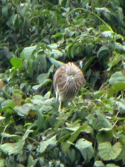 ② アカガシラサギ 成鳥 冬羽 チュック・バック湖 ハノイ ベトナム Ho Truc Bach, Ha Noi, Vietnam 2010/01/12 Photo by Kohyuh