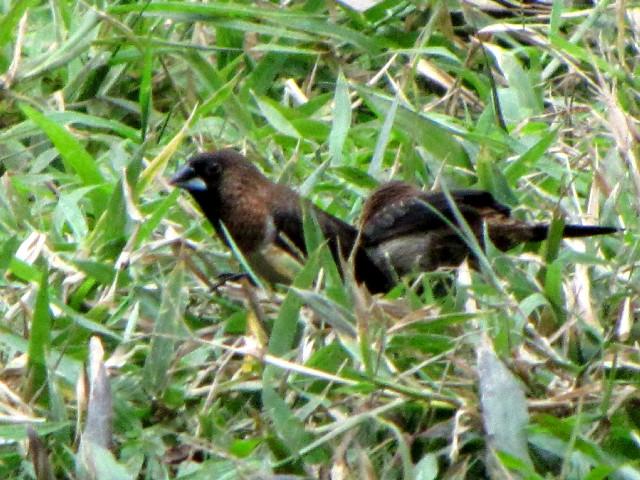③ コシジロキンパラ 成鳥 トンニャット公園 ハノイ ベトナム Thong Nhat Park, Ha Noi, Vietnam 2010/01/20 Photo by Kohyuh