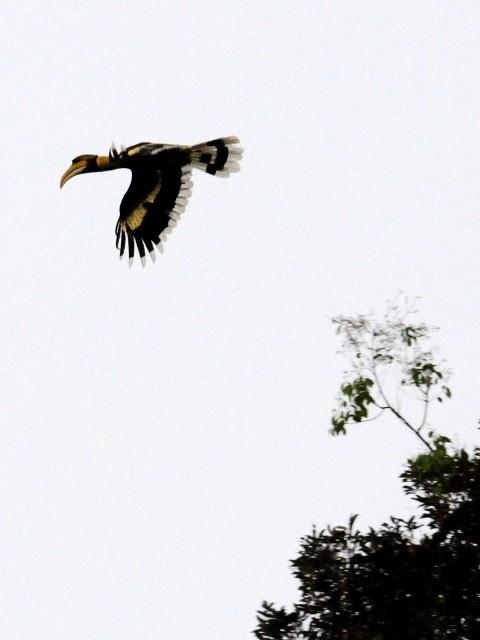 ② オオサイチョウ 成鳥 ランカウイ島 マレーシア Pulau Langkawi, Malaysia  2010/06/01 Photo by Kohyuh