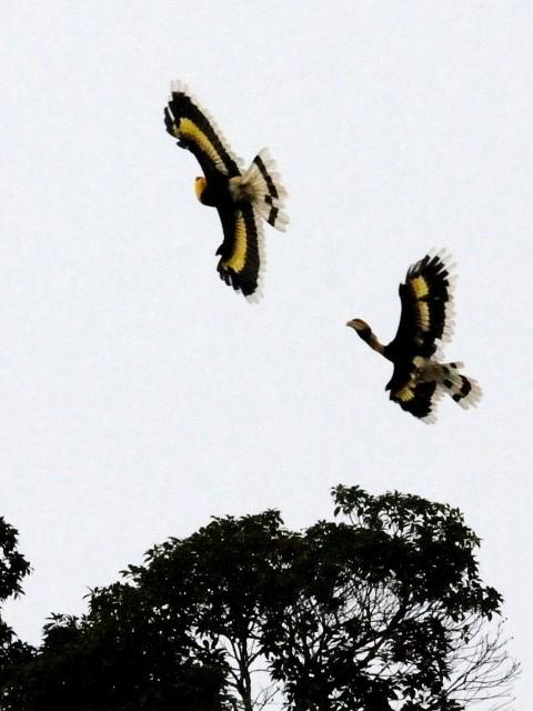 ③ オオサイチョウのペア 成鳥 ランカウイ島 マレーシア Pulau Langkawi, Malaysia  2010/06/01 Photo by Kohyuh