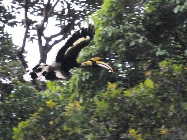 ④ オオサイチョウ 成鳥 ランカウイ島 マレーシア Pulau Langkawi, Malaysia  2010/06/01 Photo by Kohyuh