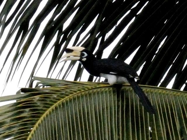 ② キタカササギサイチョウ ♂ 成鳥 ランカウイ島 マレーシア Pulau Langkawi, Malaysia  2010/06/01 Photo by Kohyuh