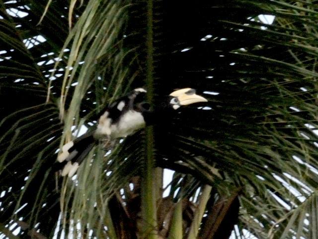 ③ キタカササギサイチョウ ♂ 成鳥 ランカウイ島 マレーシア Pulau Langkawi, Malaysia  2010/06/01 Photo by Kohyuh