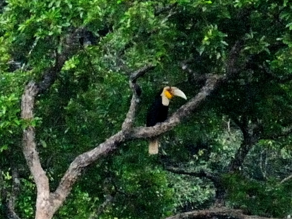 ① ムジシワコブサイチョウ  ♂ 成鳥 ランカウイ島 マレーシア Pulau Langkawi, Malaysia  2010/06/01 Photo by Kohyuh