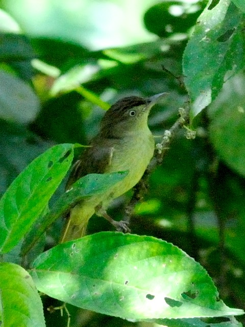 ① カンムリオリーブヒヨ 成鳥 ジャンダ・バイク マレーシア Janda Baik, Malaysia  2010/05/23 Photo by Kohyuh