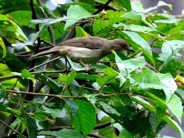 ② アカメチャイロヒヨ 成鳥 ジャンダ・バイク マレーシア Janda Baik, Malaysia  2010/05/25 Photo by Kohyuh