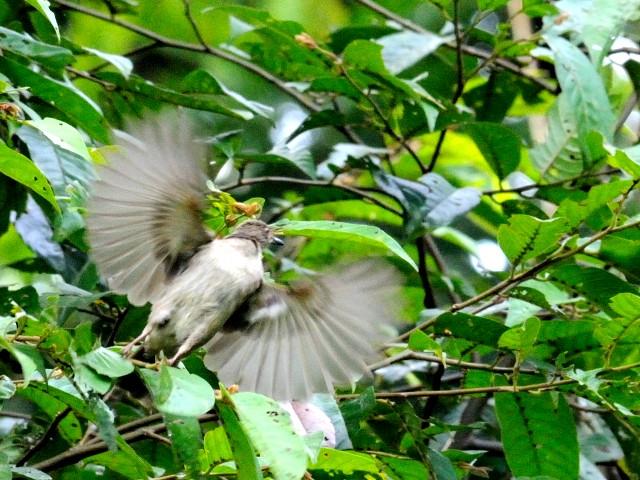④ アカメチャイロヒヨ 成鳥 ジャンダ・バイク マレーシア Janda Baik, Malaysia  2010/05/25 Photo by Kohyuh