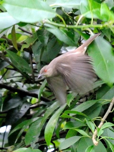 ⑤ アカメチャイロヒヨ 成鳥 ジャンダ・バイク マレーシア Janda Baik, Malaysia  2010/05/25 Photo by Kohyuh