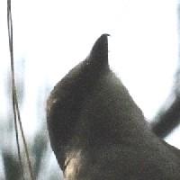 オオモズサンショウクイ頭部