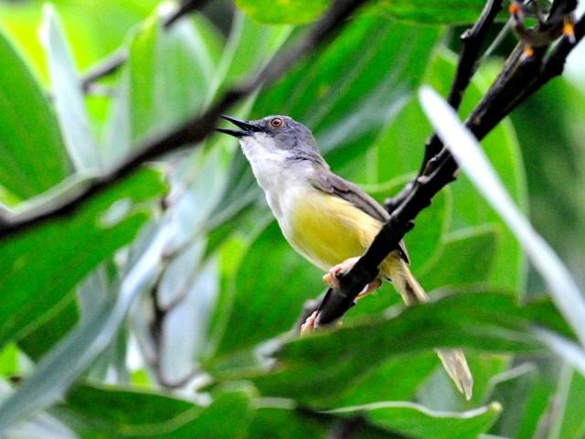 ① アオハウチワドリ 成鳥 ジャンダ・バイク マレーシア Janda Baik, Malaysia  2010/05/25 Photo by Kohyuh
