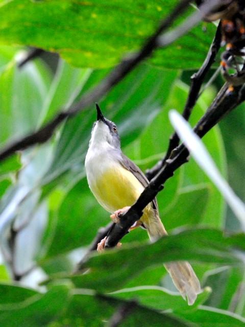 ② アオハウチワドリ 成鳥 ジャンダ・バイク マレーシア Janda Baik, Malaysia  2010/05/25 Photo by Kohyuh