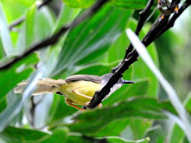 ④  アオハウチワドリ 成鳥 ジャンダ・バイク マレーシア Janda Baik, Malaysia  2010/05/25 Photo by Kohyuh