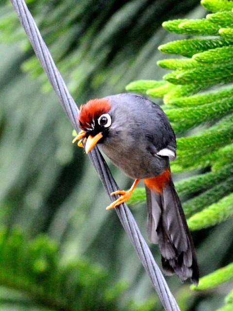 ② チャガシラガビチョウ 成鳥 フレイザーズ・ヒル マレーシア Fraser's Hill, Malaysia 2010/05/27 Photo by Kohyuh