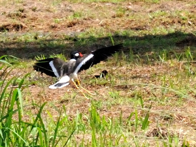 ④ インドトサカゲリ 成鳥 チョグム公園 クア ランカウイ島 マレーシア Taman Chogm, Kua, Pulau Langkawi, Malaysia 2010/05/31 Photo by Kohyuh