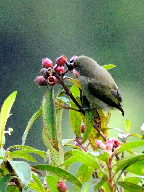④ アカハシハナドリ 成鳥 ジャンダ・バイク マレーシア Janda Baik, Malaysia  2010/05/24 Photo by Kohyuh