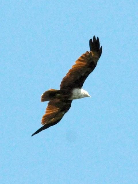 ① シロガシラトビ 成鳥 クアラ・セランゴール マレーシア Kuala Selangor, Malaysia 2010/06/10 Photo by Kohyuh