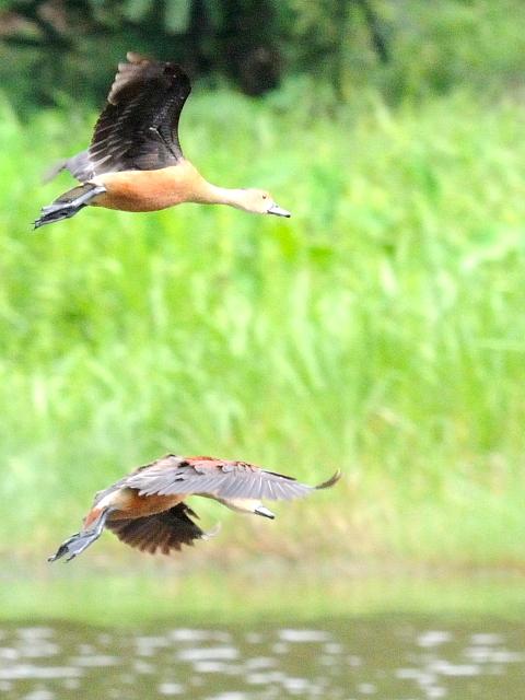 ③ リュウキュウガモ 成鳥 ランカウイ マレーシア Langkawi, Malaysia 2010/06/01 Photo by Kohyuh
