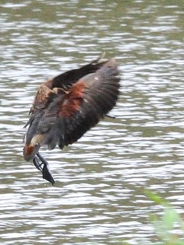 ④-1  リュウキュウガモ 成鳥 ランカウイ マレーシア Langkawi, Malaysia 2010/06/01 Photo by Kohyuh