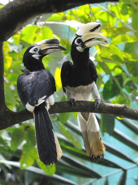 ① キタカササギサイチョウ バードパーク マレーシア Birdpark, Kuala Lumpur, Malaysia 2010/06/04 Photo by Kohyuh
