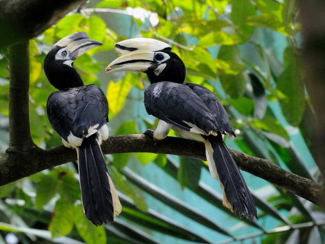 ② キタカササギサイチョウ バードパーク マレーシア Birdpark, Kuala Lumpur, Malaysia 2010/06/04 Photo by Kohyuh