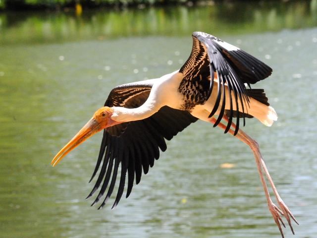 ① インドトキコウ 国立動物園 マレーシア Zoo Negara, Kuala Lumpur, Malaysia 2010/06/05 Photo by Kohyuh