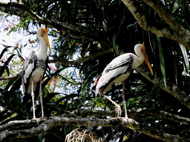 ④ インドトキコウ 国立動物園 マレーシア Zoo Negara, Kuala Lumpur, Malaysia 2010/06/05 Photo by Kohyuh