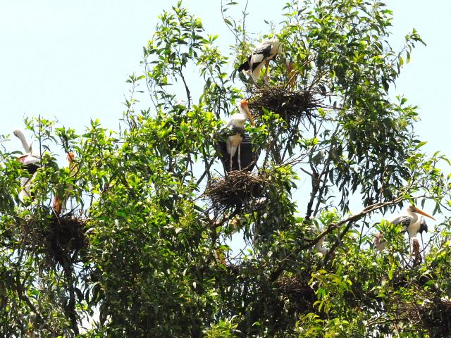 ⑤ インドトキコウ 国立動物園 マレーシア Zoo Negara, Kuala Lumpur, Malaysia 2010/06/05 Photo by Kohyuh