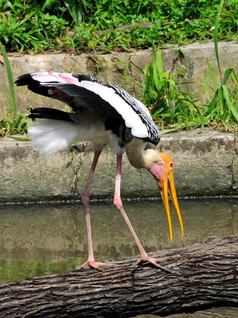 ① インドトキコウ バード・パーク マレーシア Birdpark, Kuala Lumpur, Malaysia 2010/06/04 Photo by Kohyuh