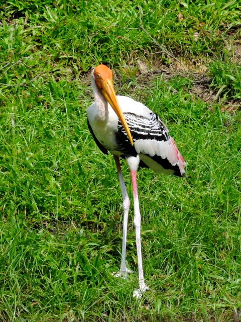 ③ インドトキコウ バード・パーク マレーシア Birdpark, Kuala Lumpur, Malaysia 2010/06/04 Photo by Kohyuh