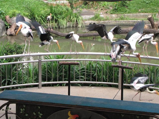 ④ インドトキコウ バード・パーク マレーシア Birdpark, Kuala Lumpur, Malaysia 2010/06/04 Photo by Kohyuh