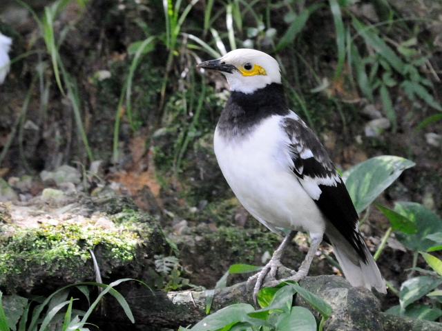 ① クビワムクドリ バード・パーク マレーシア Birdpark, Kuala Lumpur, Malaysia 2010/06/04 Photo by Kohyuh