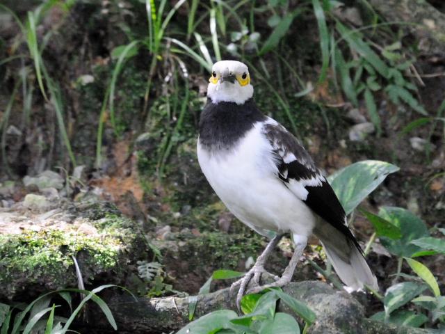 ② クビワムクドリ バード・パーク マレーシア Birdpark, Kuala Lumpur, Malaysia 2010/06/04 Photo by Kohyuh
