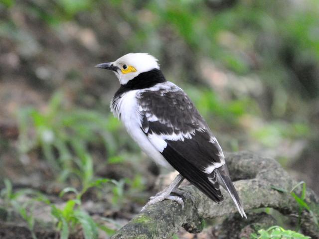 ③ クビワムクドリ バード・パーク マレーシア Birdpark, Kuala Lumpur, Malaysia 2010/06/04 Photo by Kohyuh