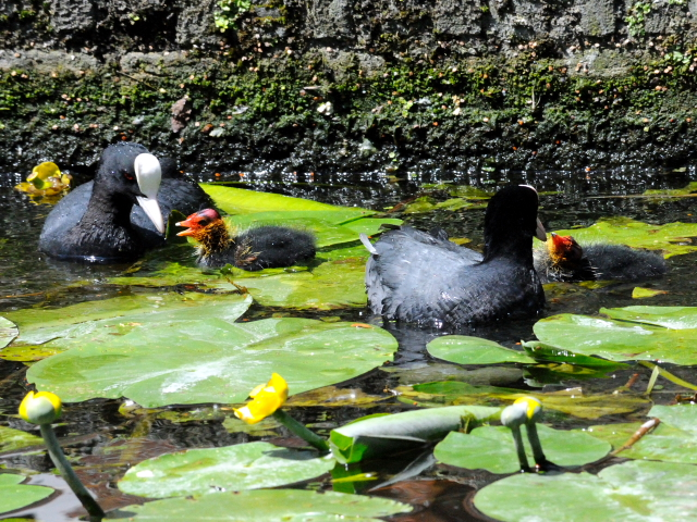 ② オオバン 親子 デン・ハーグ オランダ Den Haag, Netherlands 2011/06/01 Photo by Kohyuh