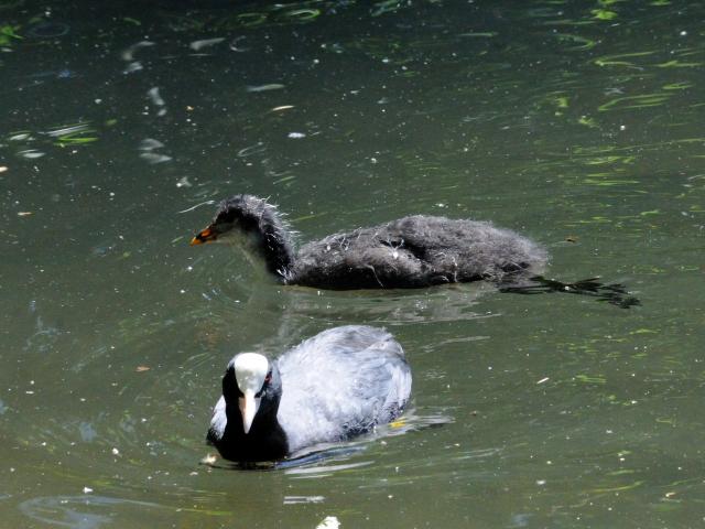 ④ オオバン 親子 ヴッパータール動物園 デュッセルドルフ ドイツ<br>Wuppertal Zoo, Dusseldolf, Germany 2011/05/30 Photo by Kohyuh