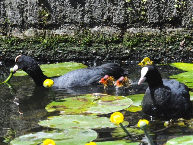 ① オオバン 親子 デン・ハーグ オランダ Den Haag, Netherlands 2011/06/01 Photo by Kohyuh