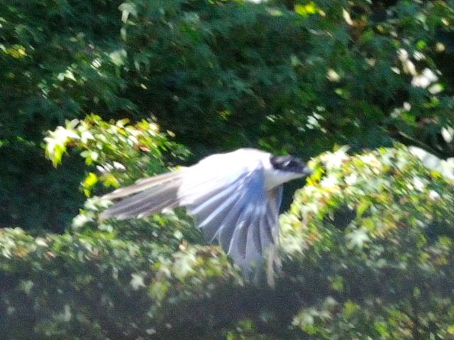② オナガ ♂ 成鳥 山中湖 山梨県 2011/09/19 Photo by Kohyuh