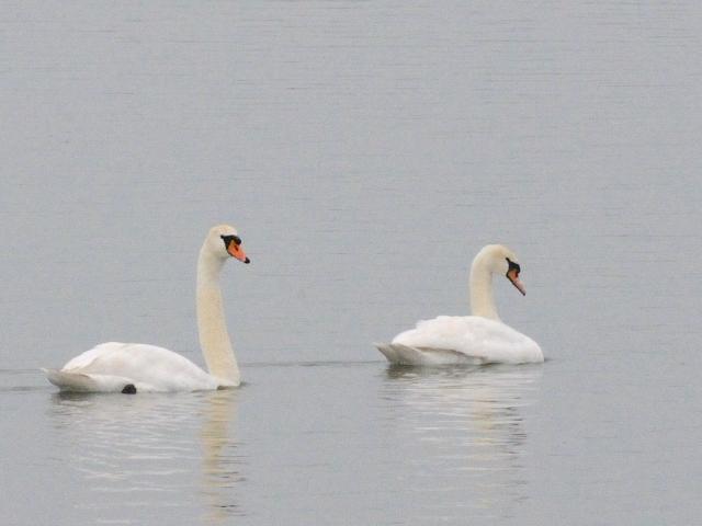① コブハクチョウ 成鳥 小堤防 オランダ dijk Enkhuizen-Lelystad, Netherlands 2011/06/06 Photo by Kohyuh