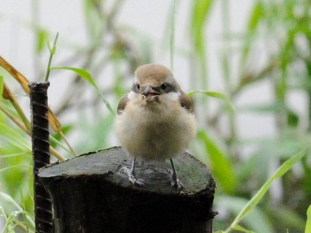 ② アカモズ 成鳥 冬羽 関渡(關渡)自然公園 台北市 台湾 Guandu Nature Park, Taipei, Taiwan 2012/02/26 Photo by Kohyuh